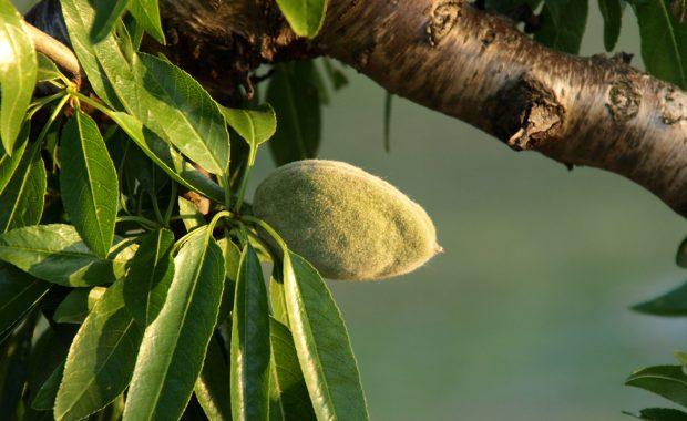 Análisis foliar en almendro