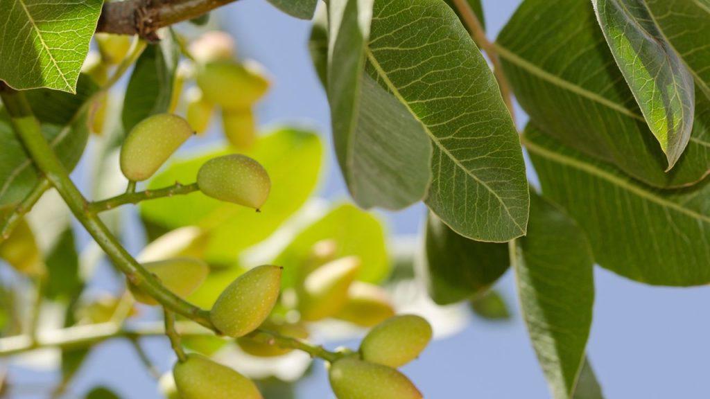 Análisis Foliar en Pistachero